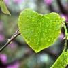 heart-leaf-rain